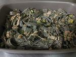 grano saraceno biologico